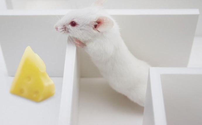 Мыши с клетками человеческого мозга