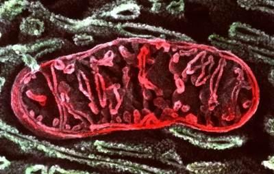 Дефекты в митохондриях (на фото митохондрия клетки кишечного эпителия) связаны с некоторыми заболеваниями, встречающимися примерно у 1 из 5 000 детей. (фото: P. Motta & T. Naguro/SPL)