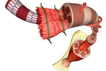 Симвастатин связан с функциональным улучшением при миодистрофии Дюшенна.