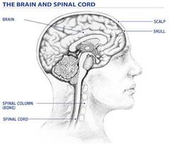 Мозг и позвоночник Изображение: psych-brain-trust.wikispaces.com