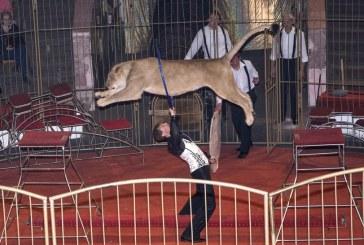 Дрессировщик тигров, который лишился ног, спасая человека на трассе, вернулся на арену цирка