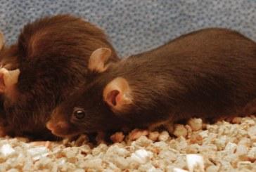 Ученым удалось продлить жизнь мышей, «очистив» организм от стареющих клеток