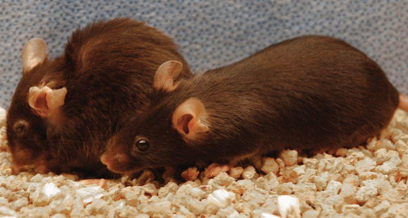Ученым удалось продлить жизнь мышей,