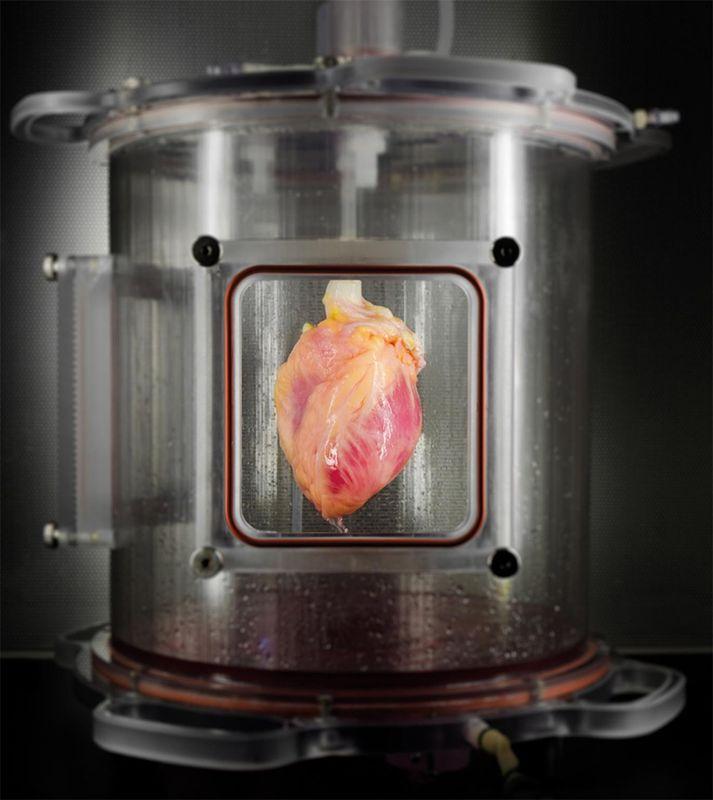 Частично восстановленное сердце в биореакторе. Фото: Bernhard Jank, MD, Ott Lab, Center for Regenerative Medicine, Massachusetts General Hospital / cnet.com