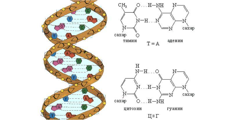 Схематическое образование комплементарных пар оснований и двойной спирали ДНК