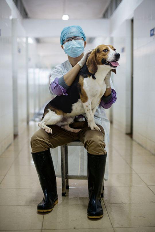 Лон Хайбинь, сотрудник Института фармацевтических исследований в Гуанчжоу, гладит бигля Тяньгу — одну из двух собак, выращенных из эмбрионов, чей геном был отредактирован для увеличения мышечной массы животного вдвое. Подобные эксперименты позволяют ученым лучше понять механизмы возникновения мышечной дистрофии у человека.