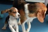 Первая в мире. Клонированную ГМО-собаку вывели китайские ученые