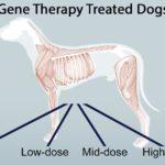 Генная терапия помогла собакам с мышечной дистрофией. На очереди люди?