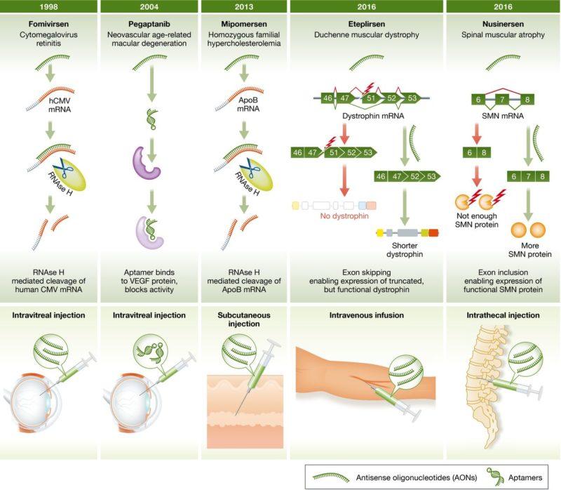 На данный момент одобрены пять препаратов на основе терапии антисмысловыми олигонуклеотидами: «Витравен» (Vitravene, фомивирсен), «Макуджен» (Macugen, пегаптаниб), «Кинамро» (Kynamro, мипомерсен), «Эксондис 51» (Exondys 51, этеплирсен) и «Спинраза» (Spinraza, нусинерсен). Изображение: EMBO Molecular Medicine.