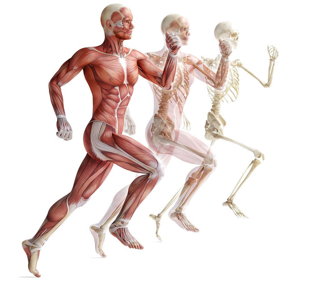 Обнаружен белок, отвечающий за слияние мышечных клеток в мышечные волокна