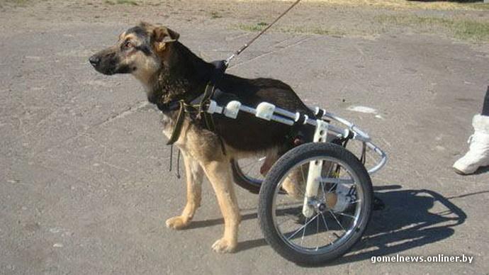 В Мозыре живет единственная в Беларуси собака в инвалидной коляске