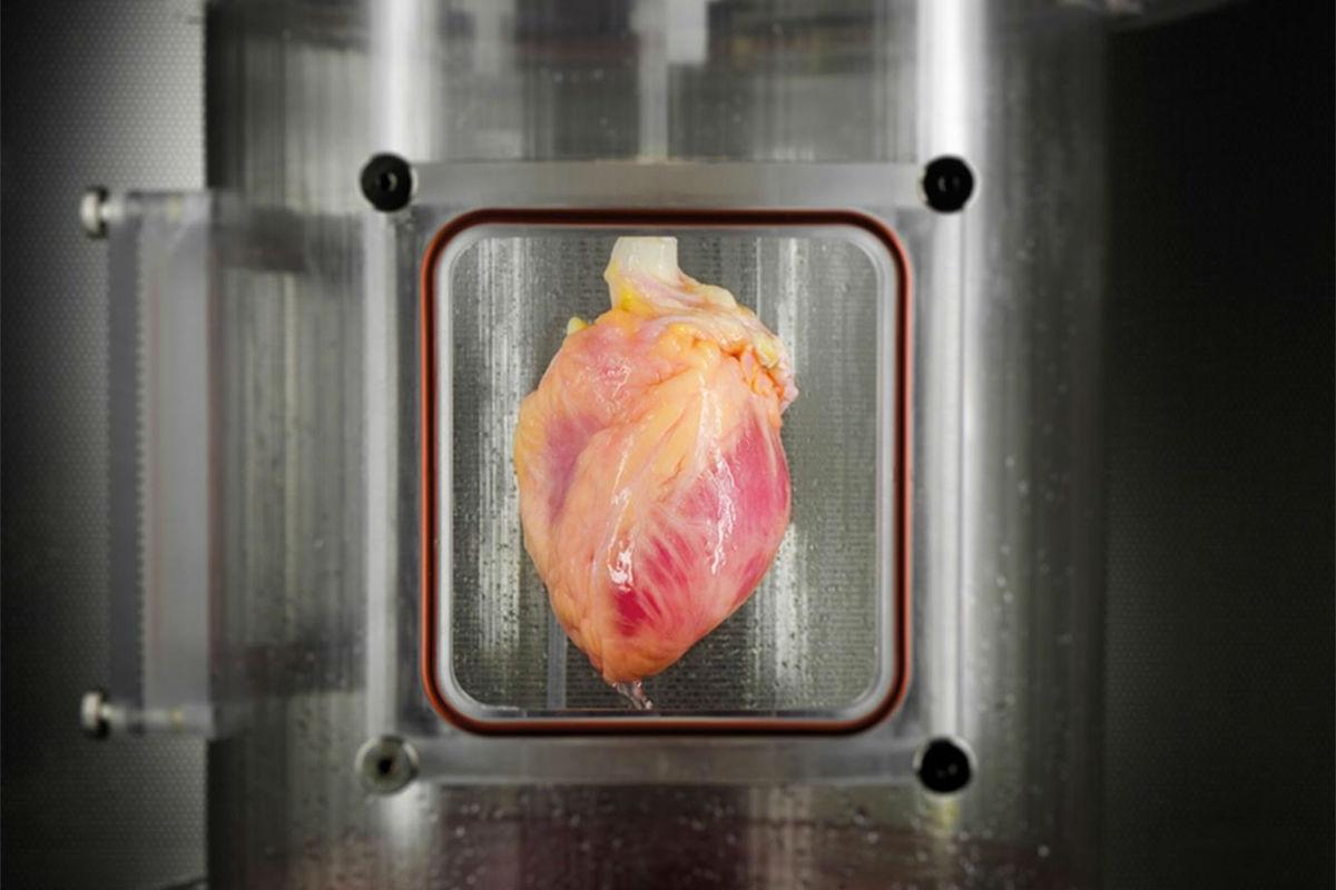 Ученые вырастили работающие мышцы человеческого сердца