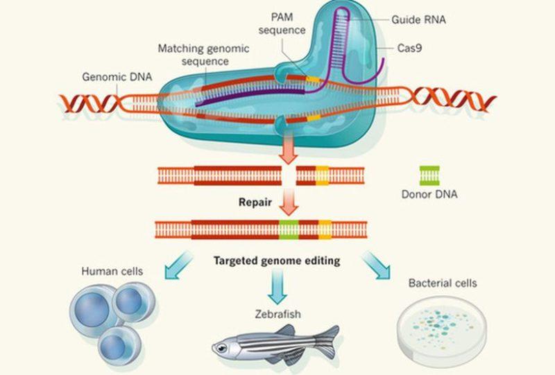 Схема редактирования ДНК с помощью CRISPR Изображение: Nature