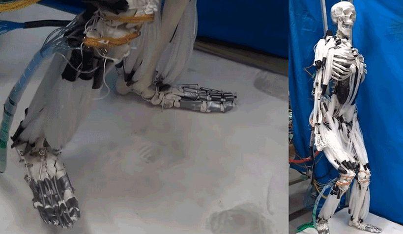 Инженеры заставили скелет пройтись с помощью искусственных мышц