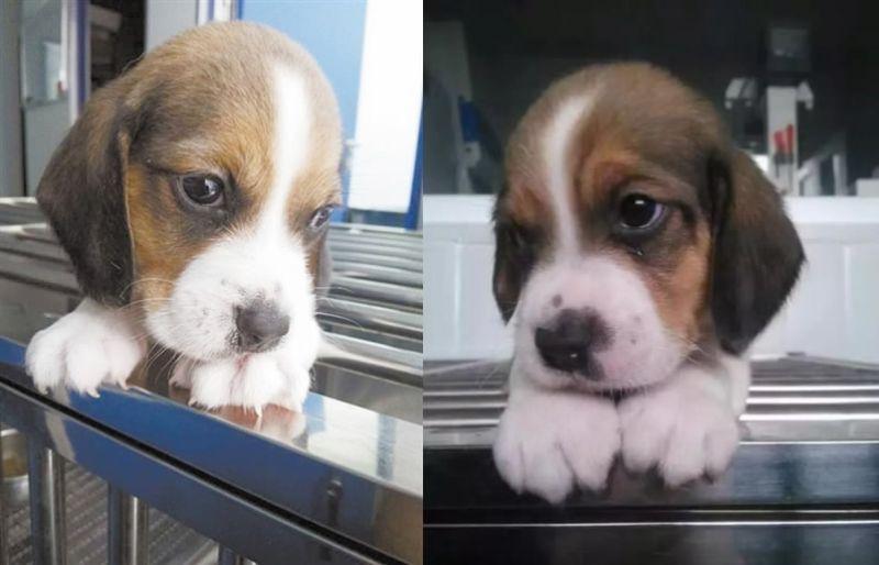 В Китае создали первую в мире генномодифицированную клонированную собаку