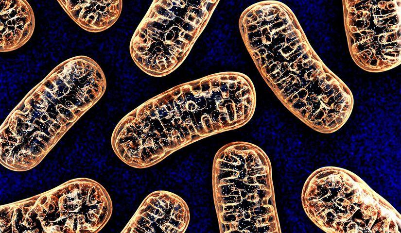 Ученые нашли изменения в структуре митохондрий при болезни Дюшенна